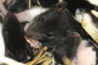 Bakterier efter rotter